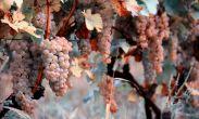 კახეთში ამ დროისთვის 9 ათას ტონამდე ყურძენია გადამუშავებული