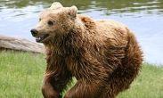 რუსეთში დათვმა საფლავი ამოთხარა და მიცვალებული გაიტაცა