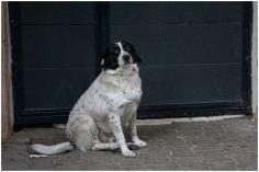 პოპულარულ ქუჩის ძაღლ კუპატას ბათუმში ვარსკვლავი გაუხსნეს
